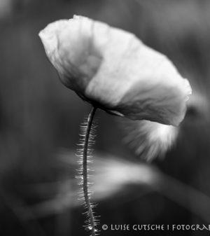 mohnlume in schwarz weiß