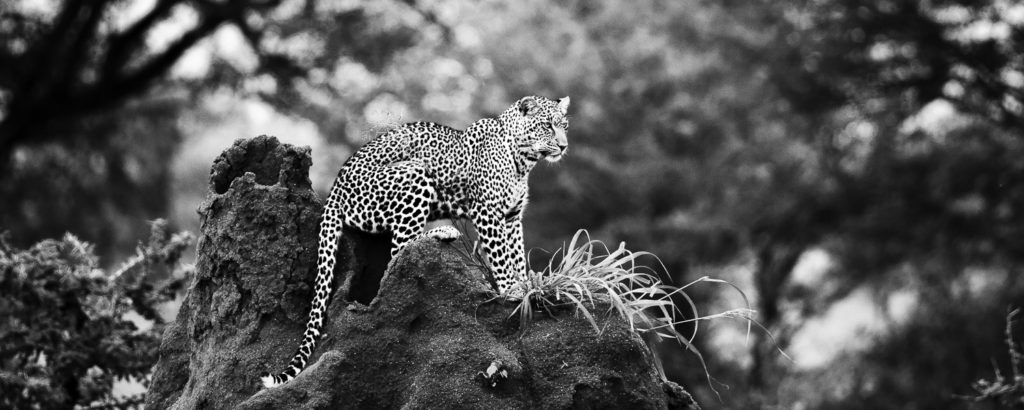Leopard in Warteposition